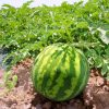 Watermelon Seed Combo Package